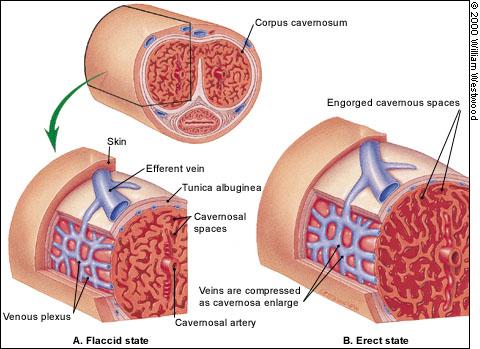 die positive wirkung von l-arginin auf die mannliche zeugungsfahigkeit
